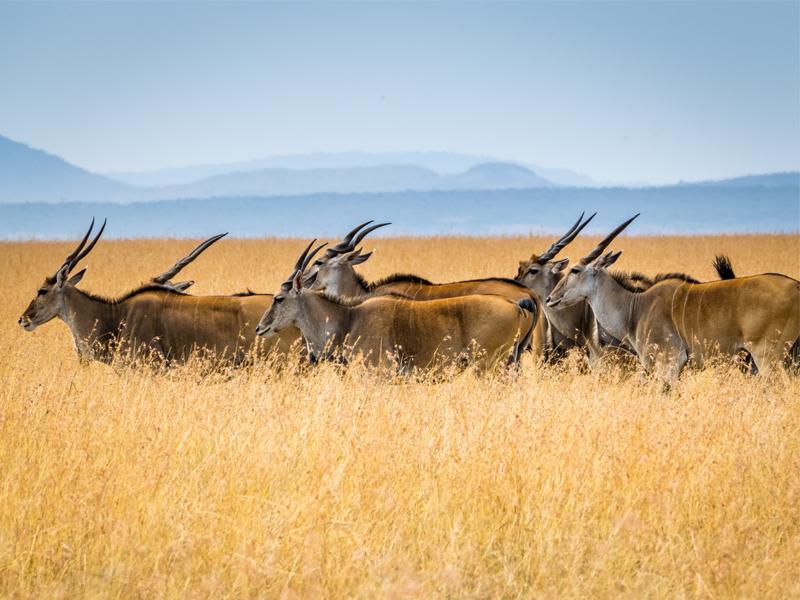 Pembury-Tours-Maasai-Mara-Buck