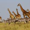 Pembury-Tours-Maasai-Mara-Giraffe-Zebra