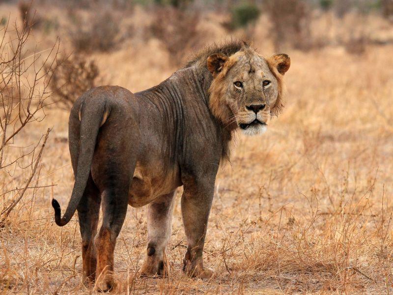 tsavo-east-lion