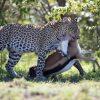 leopard-with-kill-masai-mara-990×490